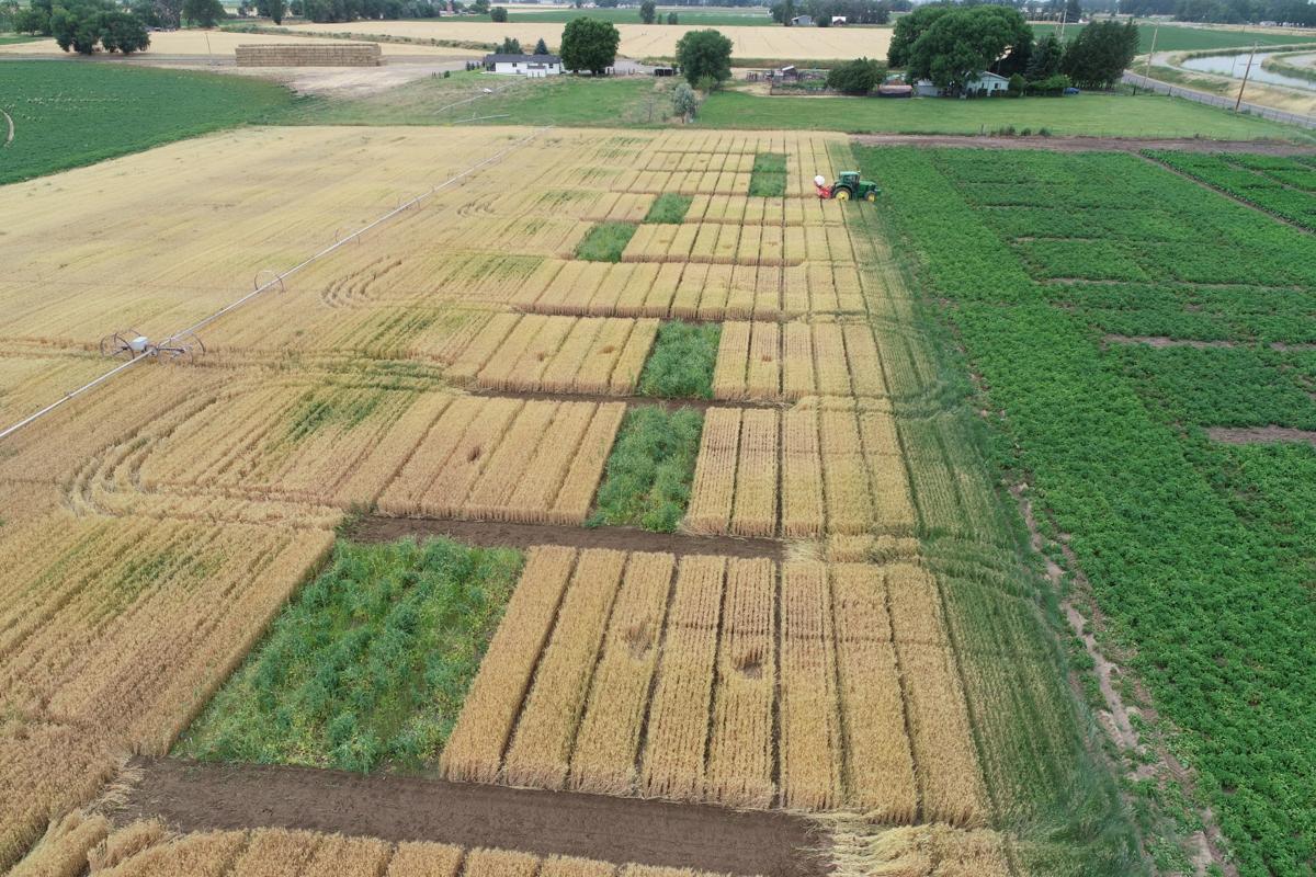 Potato soil health