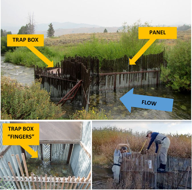 Fence-like weirs help manage fish population