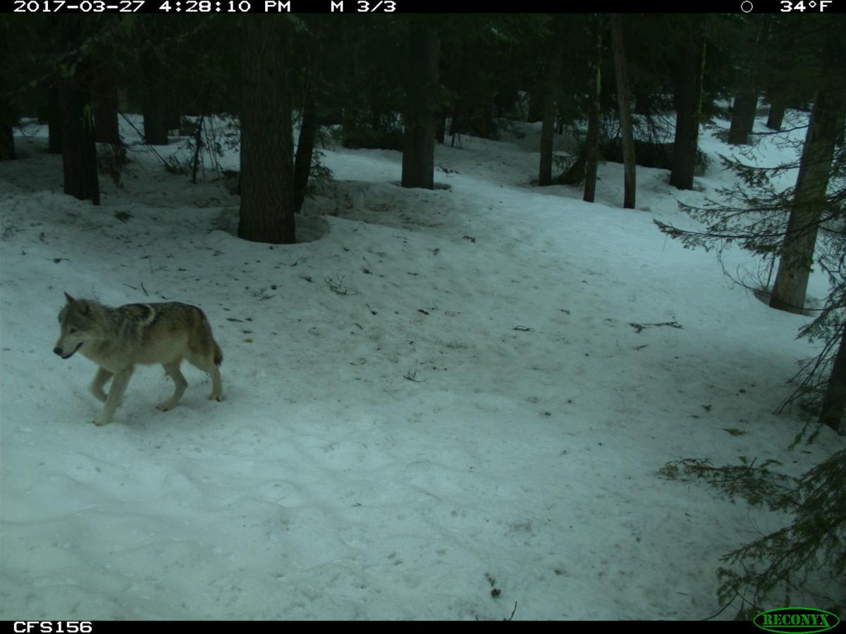 Wolves in Idaho Part 5-2