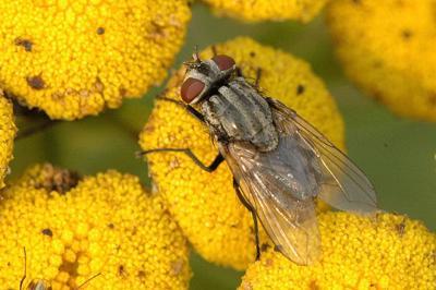 Face fly