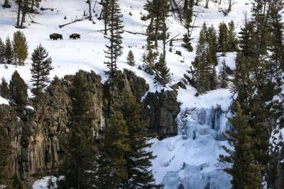 Bison at Undine Falls in Yellowstone