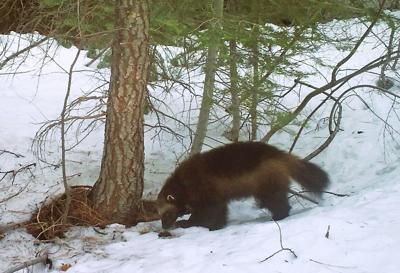 Climate Change Wolverine