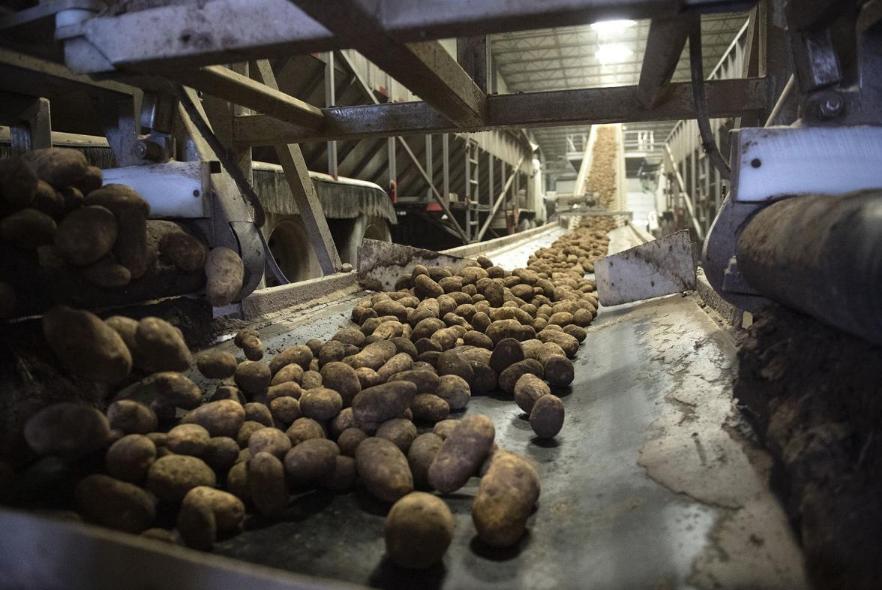 2020 potatoes 1