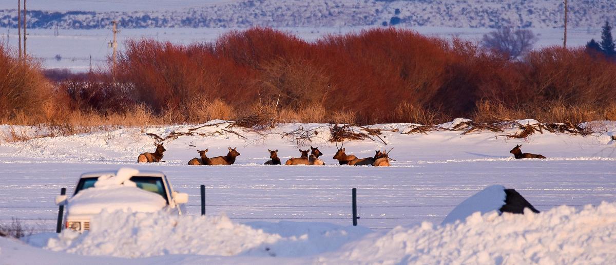 70 elk wander into Sugar City area near Highway 20