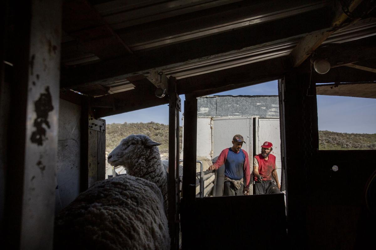 Siddoway sheep
