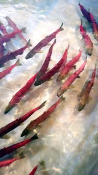 Experts perplexed by weak salmon run