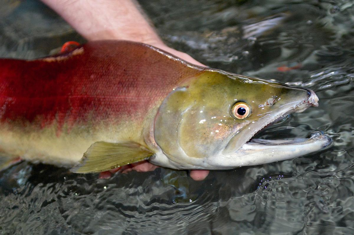 Sockeye recovery gets boost from new weir