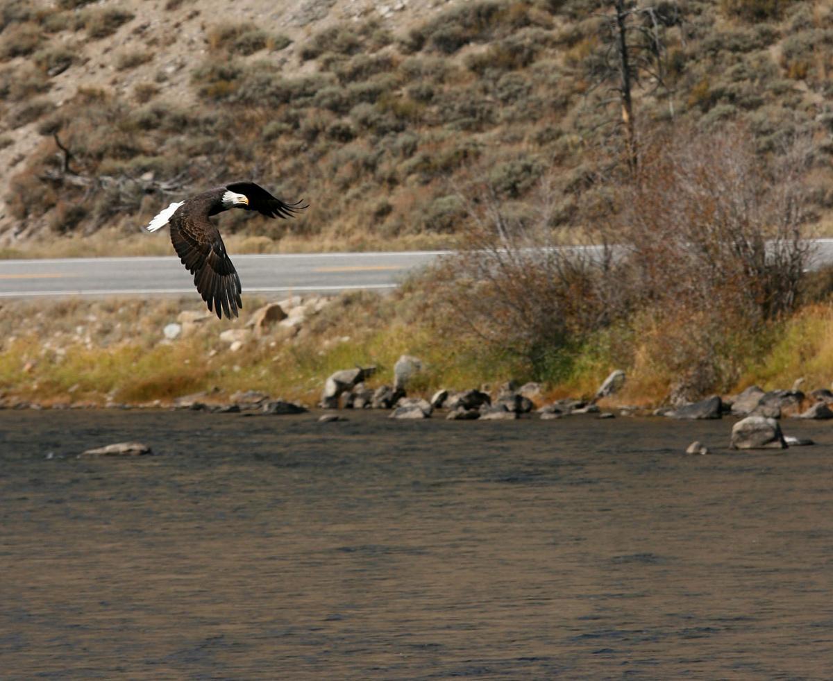 eagle flying 2.jpg