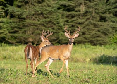 Two large white-tailed deer (Odocoileus virginianus) in field looking at camera