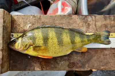 Lake Cascade should continue to produce good perch fishing, but jumbos may decline