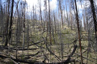 Yellowstone regeneration