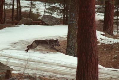 Livestock Deaths-Wolves Lawsuit