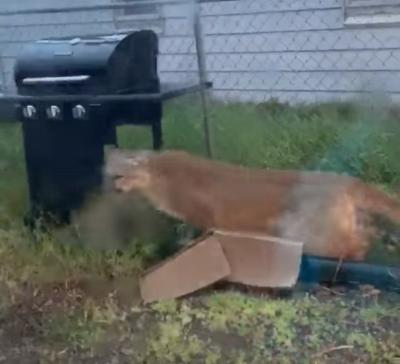 Mountain lion in Kimberly