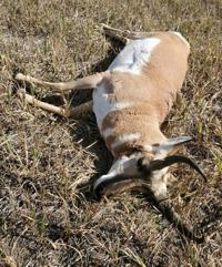 Fish and Game seek information about poached pronghorn