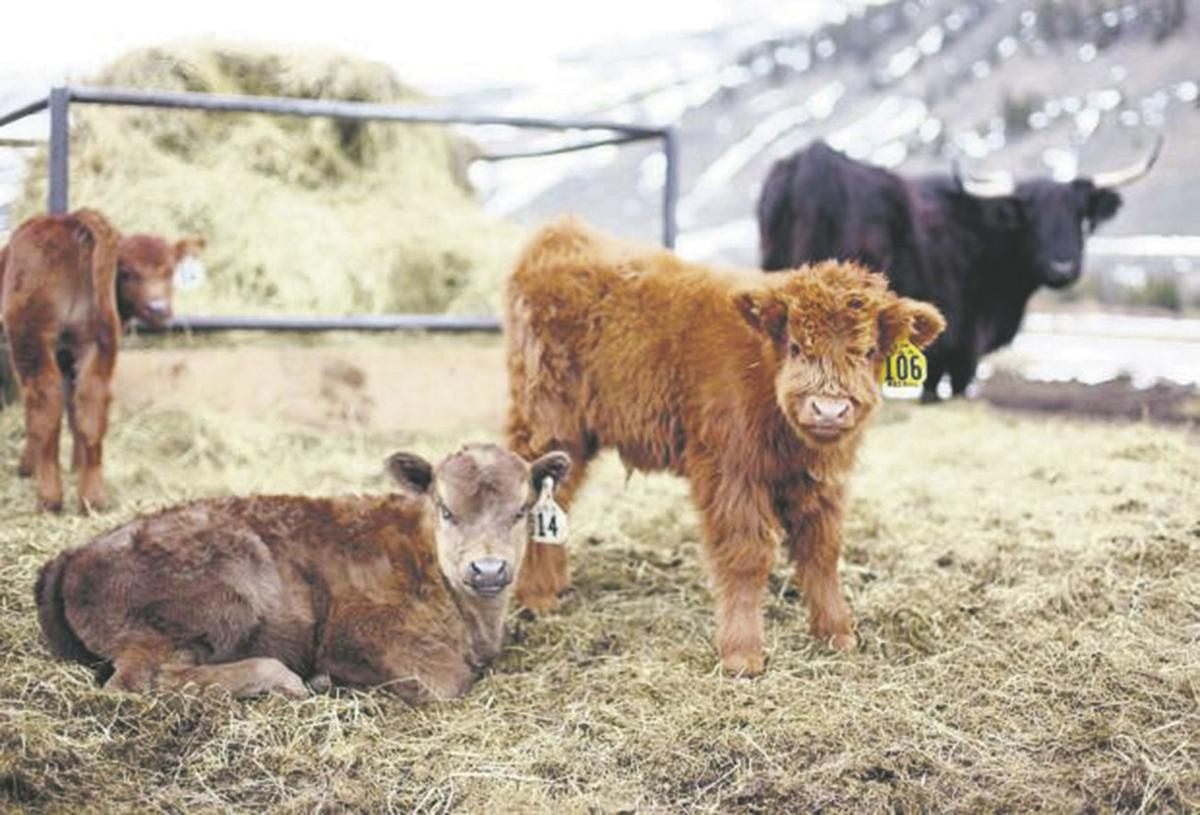 Ranch specializes in Scottish Highland cattle | Regional ...