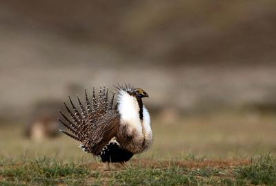 Sage Grouse-Conservation