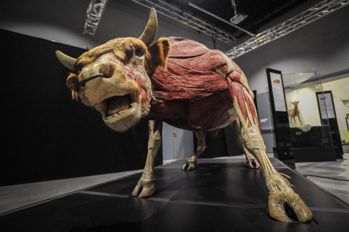 Museum of Idaho Way Out West and Body Worlds: Animal Inside Out