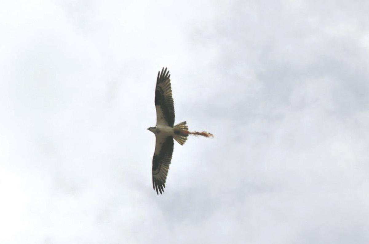 Osprey nesting season nears