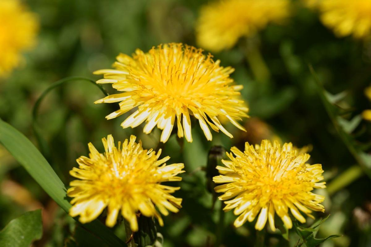 CONNELLY: The dandelion -- in celebration of spring