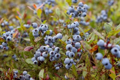 Blueberry Fields Warming Temperatures