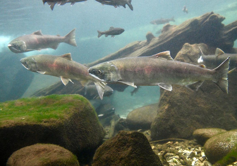Sockeye salmon released into central Idaho lakes to spawn