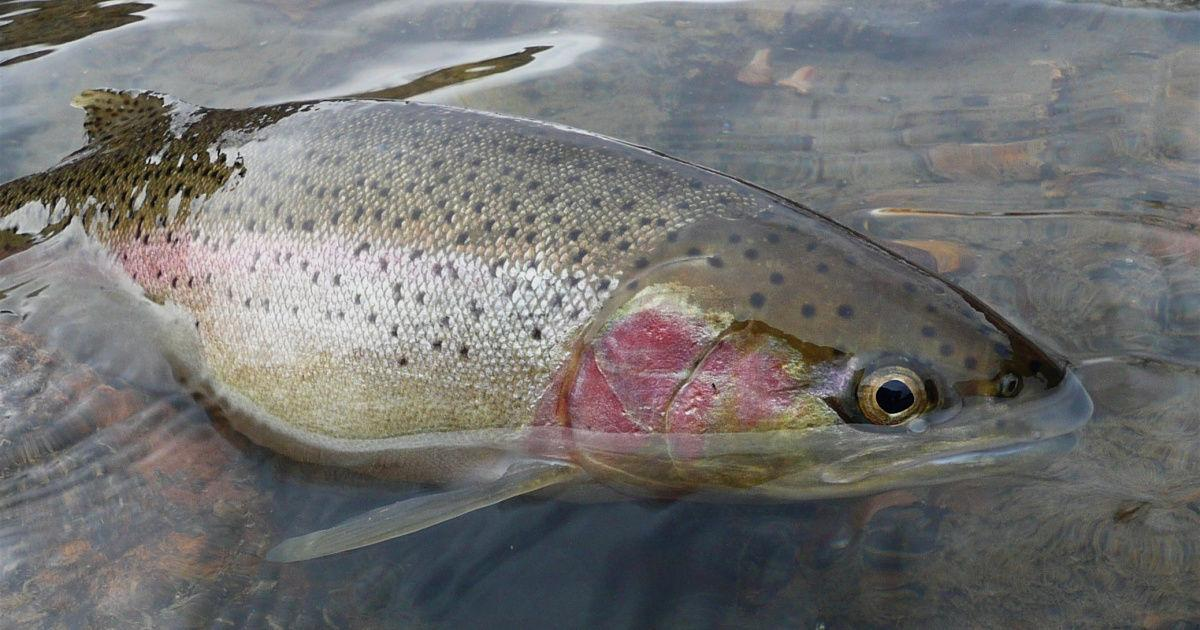 Idaho officials suspend steelhead season in face of lawsuit