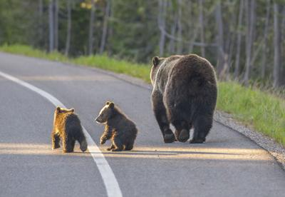 Grizzly Family on Road