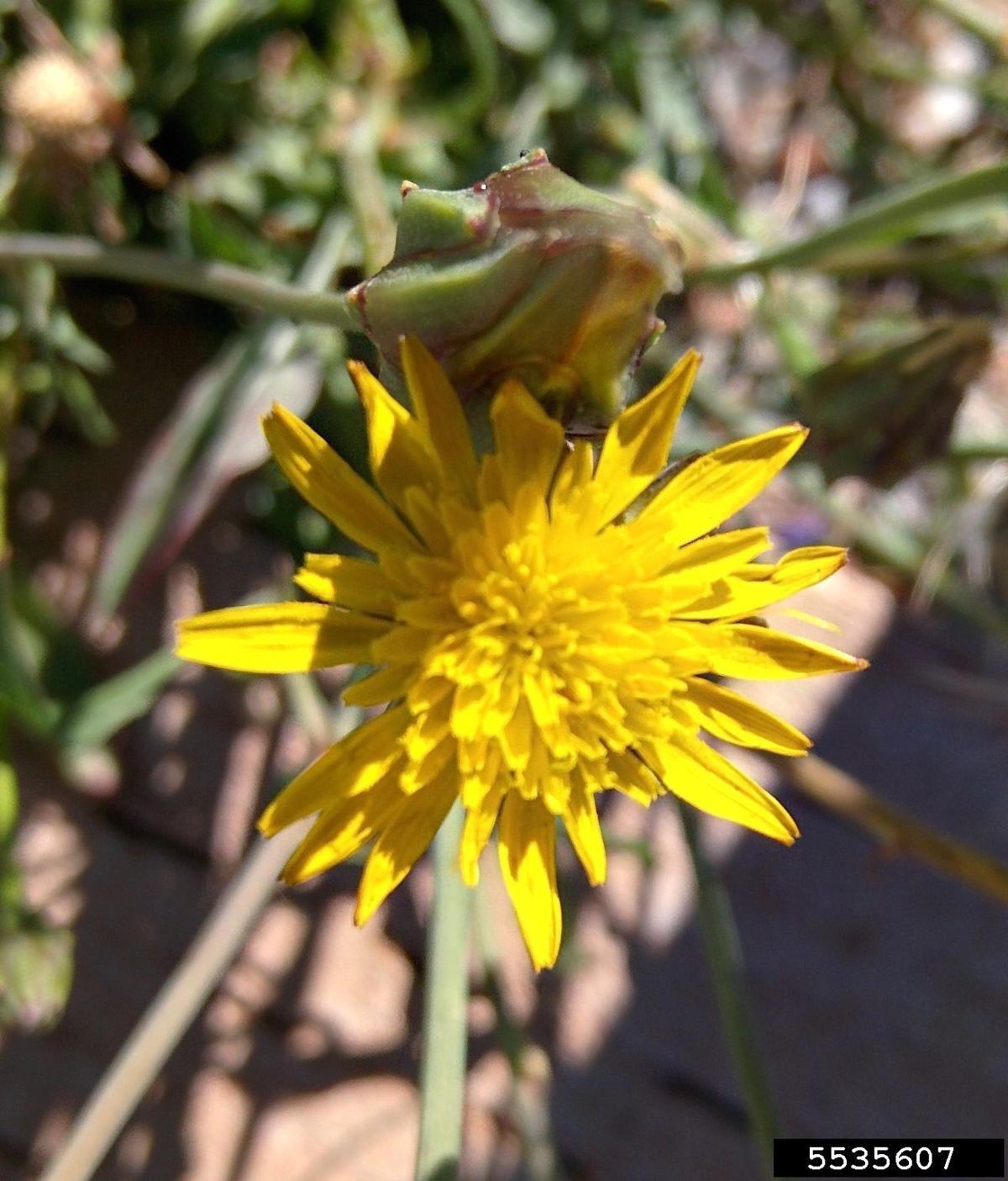 cutleaf vipergrass flower