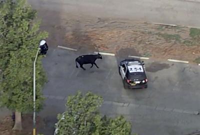 Cows Escape Slaughterhouse