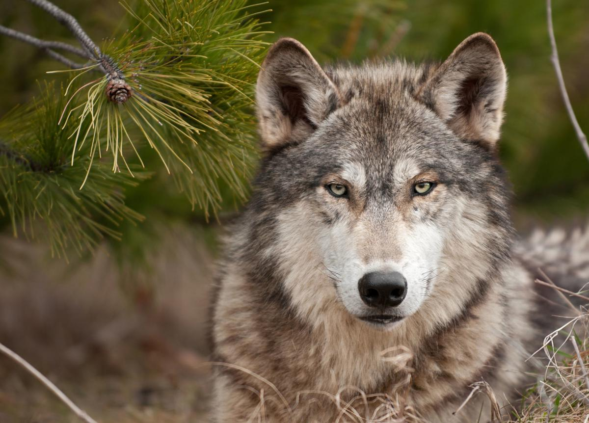 Wolf Depredation 1