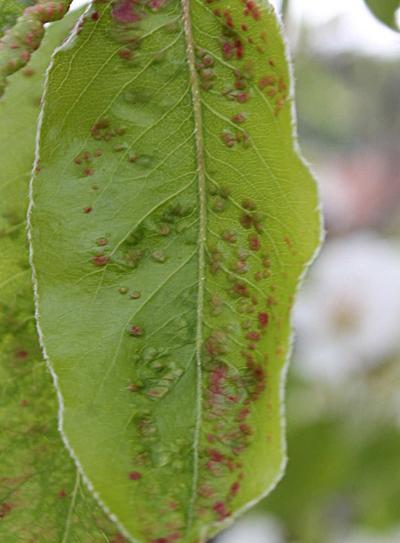 Pear leaf blister mite