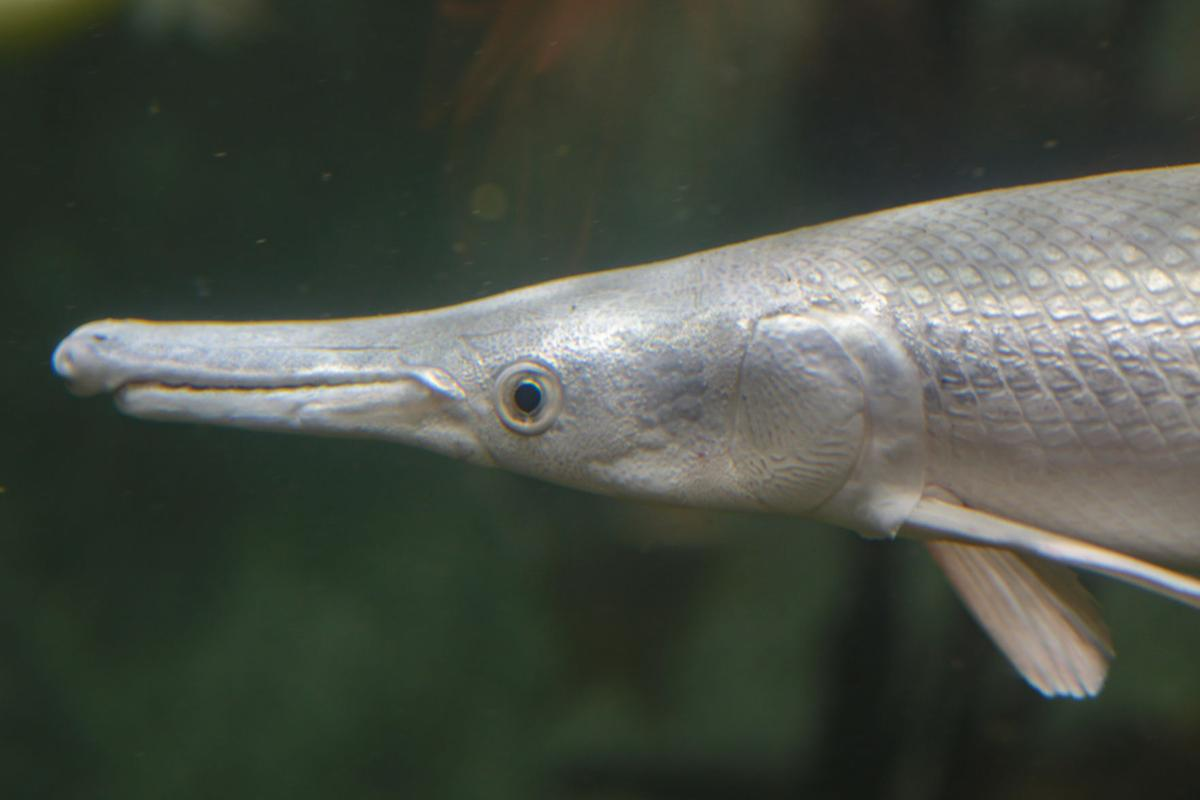 East Idaho Aquarium Alligator gar