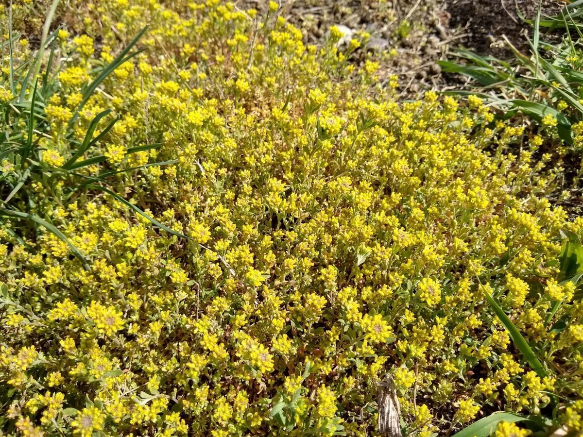 Yellow and desert alyssum