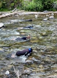 Middle Fork salmon checked by snorkelers