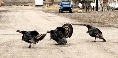 turkeys at intersection 4.1
