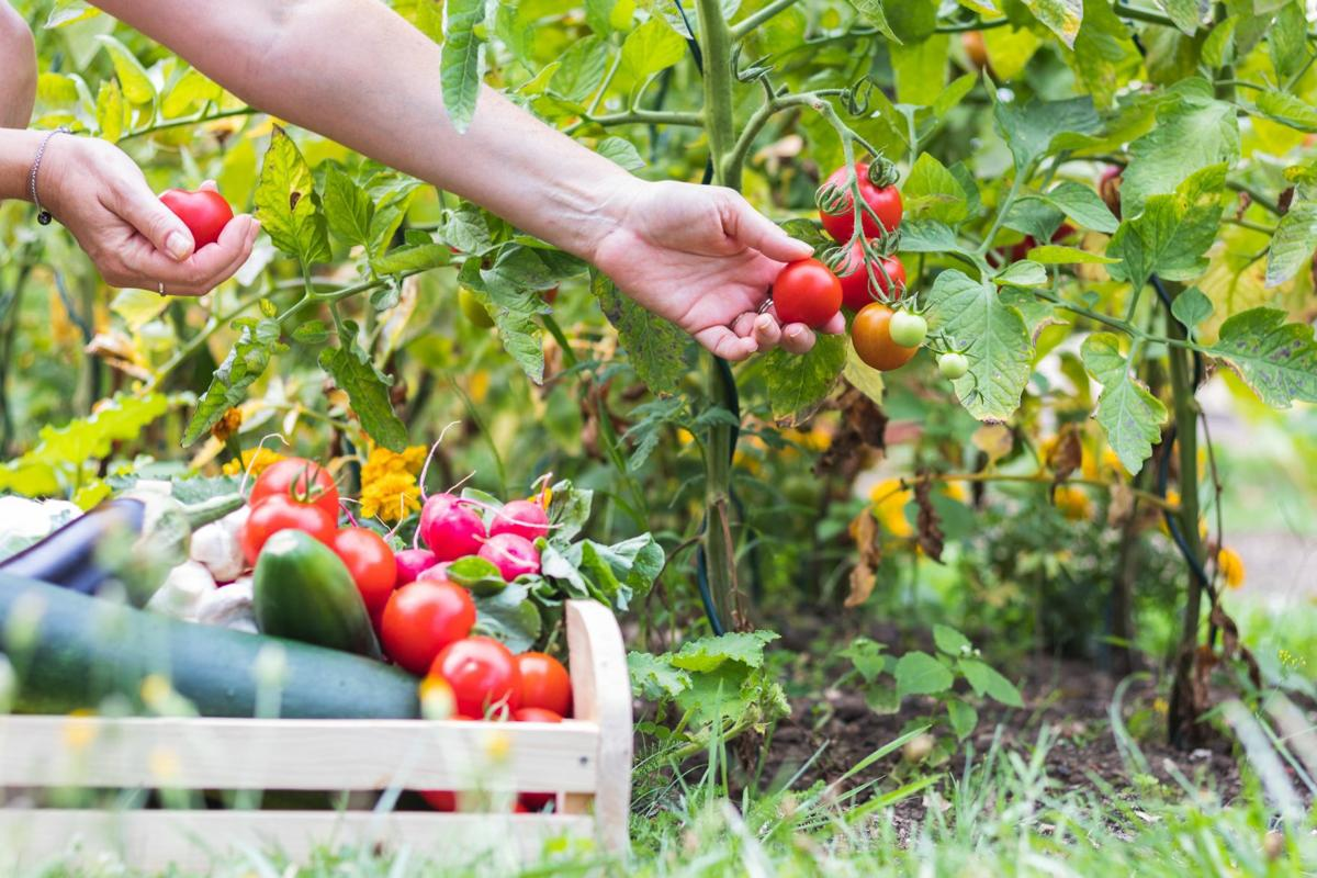 Female hands picking fresh tomatoes to wooden crate with vegetables.