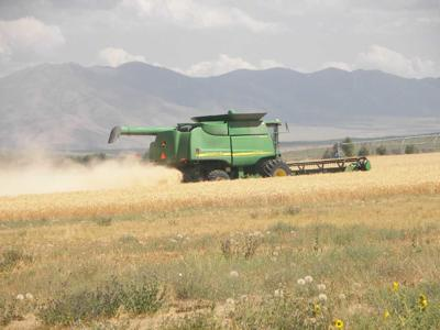 Wheat cutting
