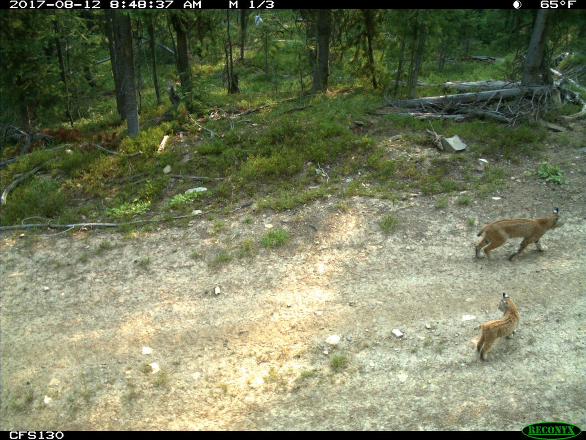 trail camera cats