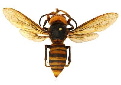 Giant hornet (copy)