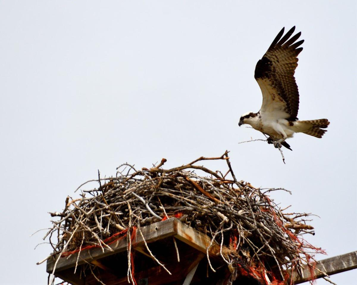 CONNELLY: The osprey -- an extraordinary aerial angler