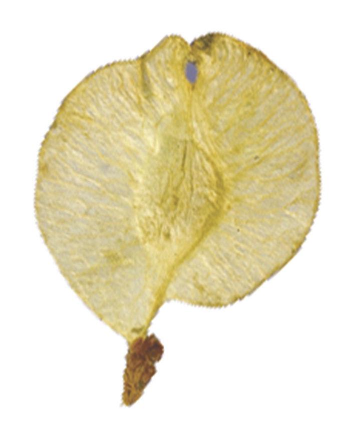 Siberian Elm seed