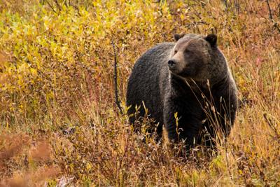 Grizzly in Grand Teton