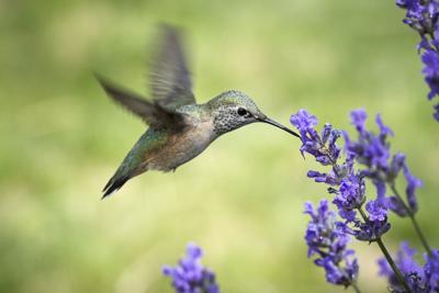 Female rufous hummingbird drinks from flower.