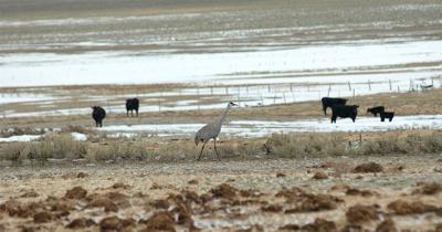 sandhill crane near borah 4.8