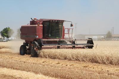 Wheat top crop