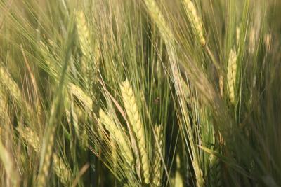 barley (copy)