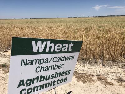 Wheat down