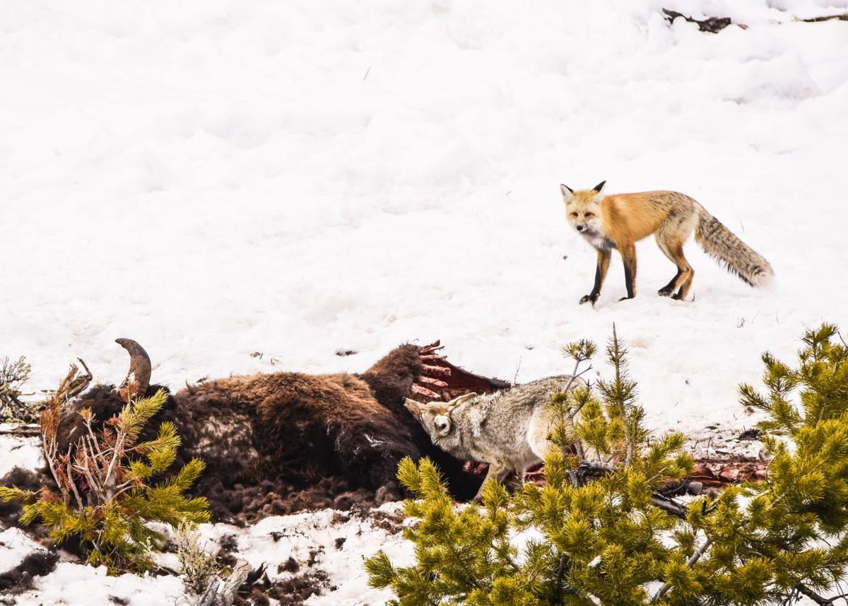 Fox and carcass