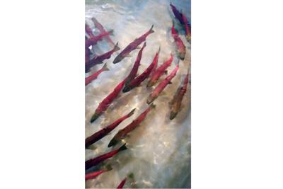 Sockeye Salmon Low Return