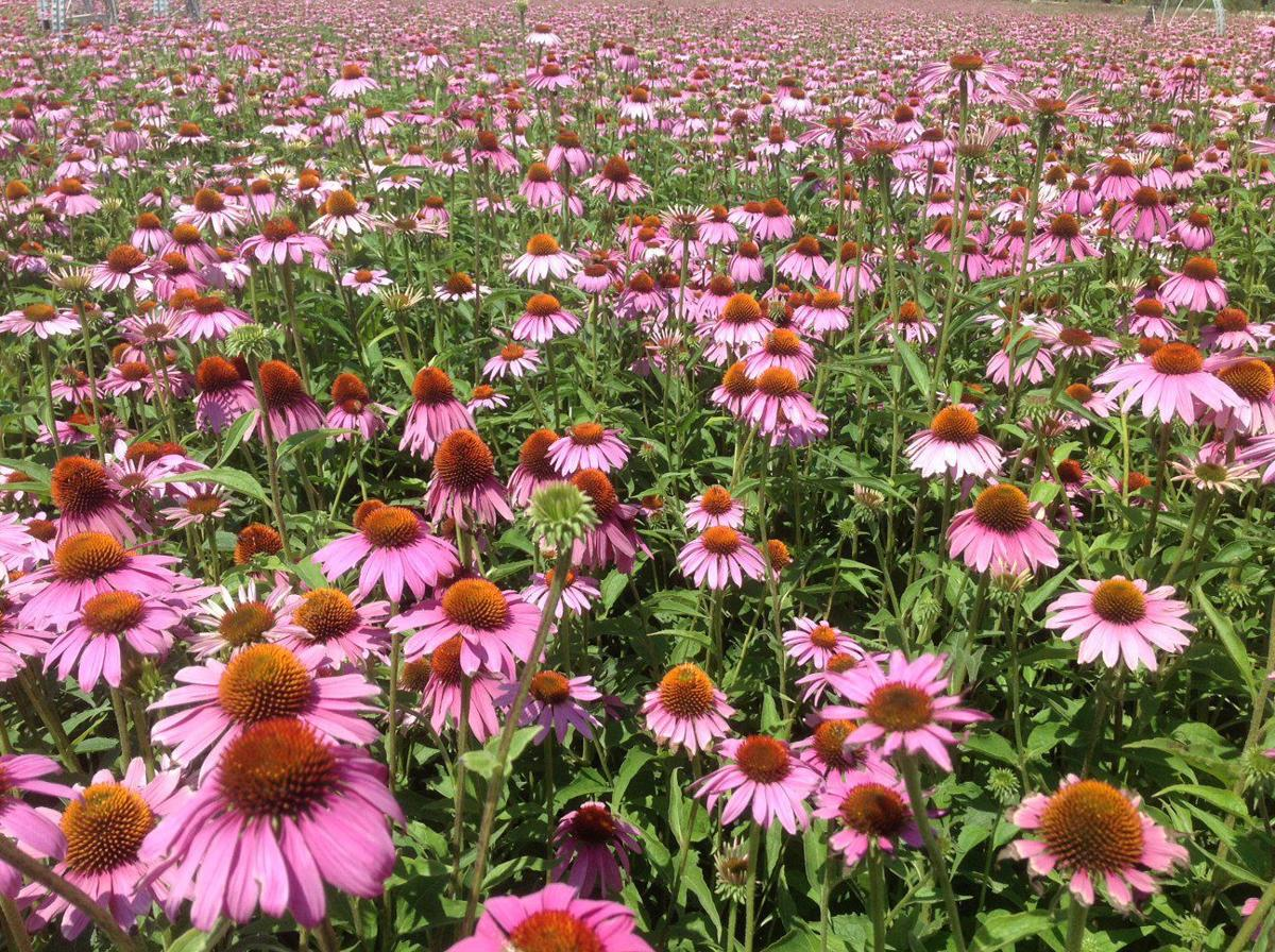 Have a cold? Reach for the purple cone flower